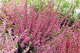 Вереск обыкновенный, трава, 25 гр, фото 2