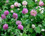 Клевер луговой, цветы и трава, 20 фильтр пакетов, фото 4