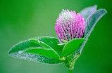 Клевер луговой, цветы и трава, 20 фильтр пакетов, фото 5