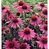 Эхинацея пурпурная, трава 50гр, фото 3