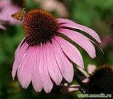 Эхинацея пурпурная, трава 50гр, фото 4