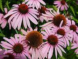 Эхинацея пурпурная, трава 50гр, фото 6