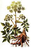 Дягиль лекарственный, корневища с корнями 50гр, фото 2