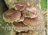 Шиитаке, гриб 10гр, фото 3