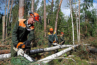 Вырубка деревьев, фото 1