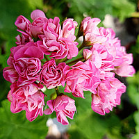 Swanland Pink/Austalien Pink Rosebud /розебуд/ укор.черенок