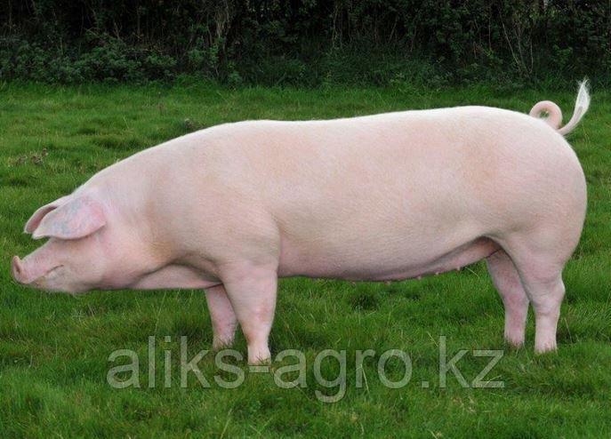 СКК-55 комбикорм для мясного откорма свиней