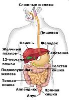 Для Пищеварительной системы