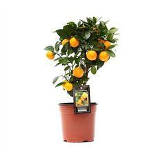 Цитрусовые растения в наличии и под заказ