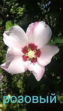 Гибискус сирийский крупно-цветковый розовый.