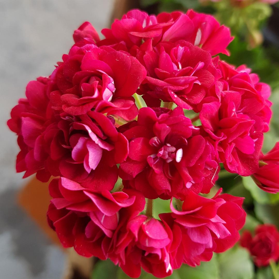 Rose of Bulgarien/розебуд