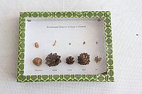 Коллекция Шишки, плоды, семена деревьев и кустарников