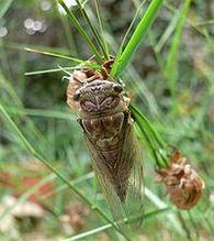 ЦИКАДА. Цикады поют рулады – мы теряем урожай. Успеть обработать сады до 8 сентября.
