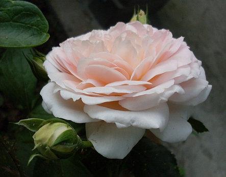 """Корни роз сорт """"Амаретто"""", фото 2"""