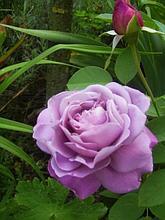 """Корни роз сорт """"Вальстайм Климбер"""""""