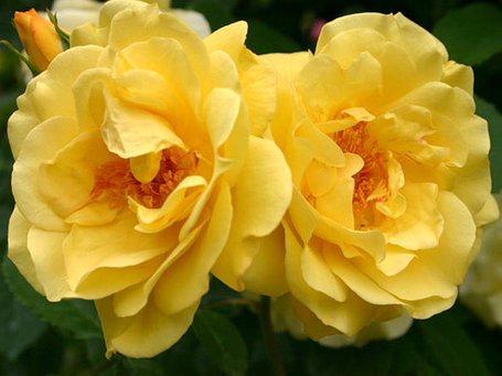 "Корни роз сорт ""Голден Гейт"", фото 2"