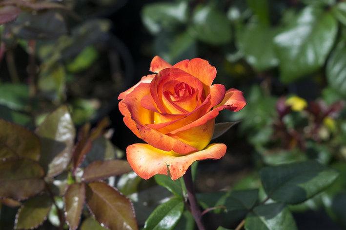 """Корни роз сорт """"Сунита"""", фото 2"""