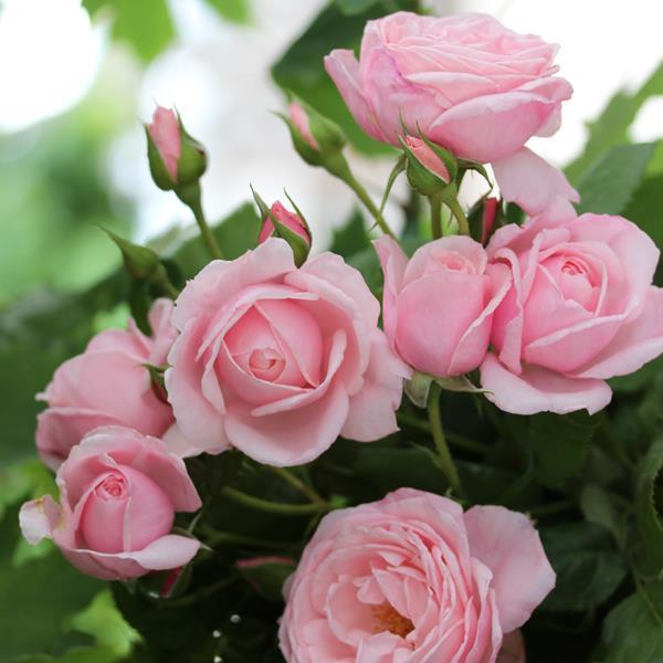 "Корни роз сорт ""Нахема"""