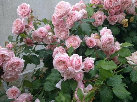 """Корни роз сорт """"Нахема"""", фото 2"""