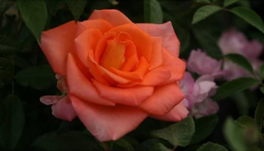 "Корни роз сорт ""Адриана"", фото 2"