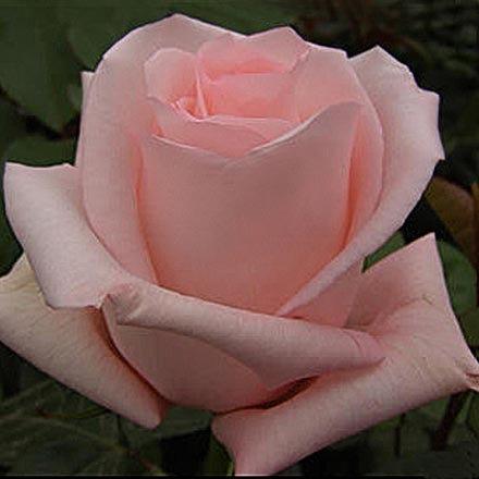 "Корни роз сорт ""Ангажемент"", фото 2"