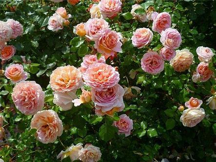 "Корни роз сорт ""Абрахам Дерби"", фото 2"