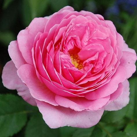 "Корни роз сорт ""Принцесса Александра оф Кент"", фото 2"