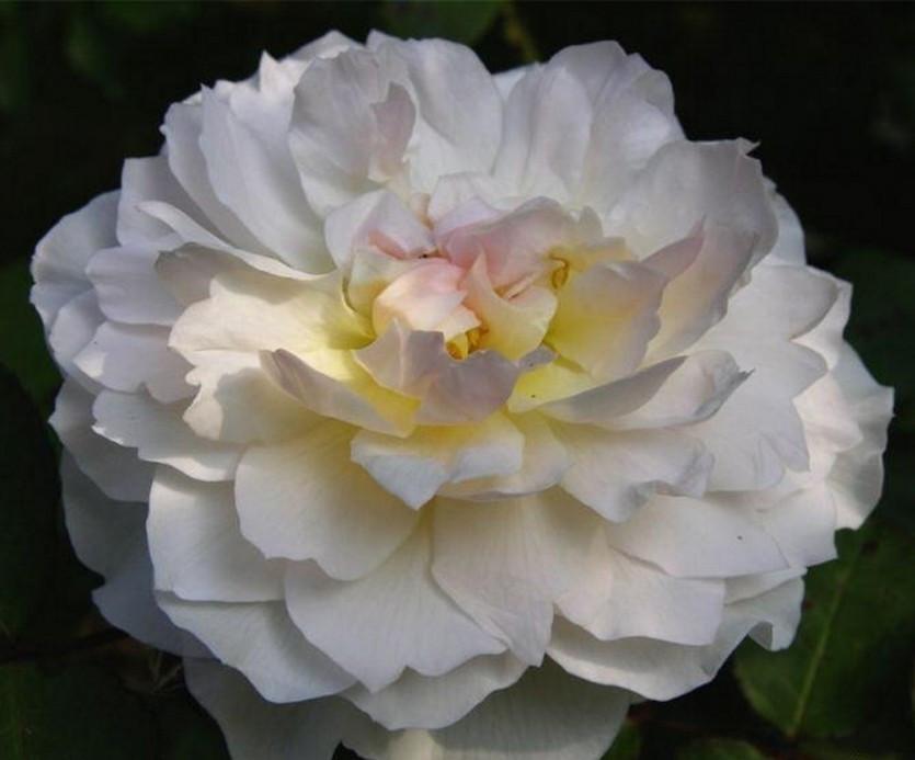 "Корни роз сорт ""Мария Магдалена"""