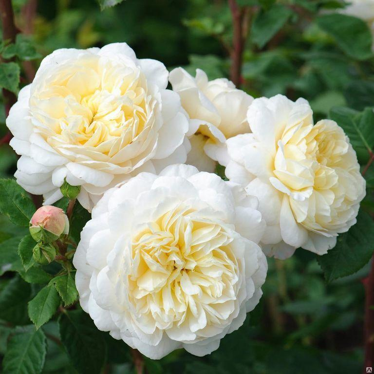 "Корни роз сорт ""Крокус Роуз"""