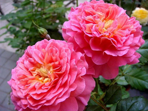 "Корни роз сорт ""Кристофер Марлоу"", фото 2"