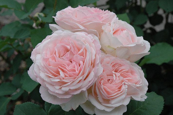 """Корни роз сорт """"Клэр Роуз"""", фото 2"""