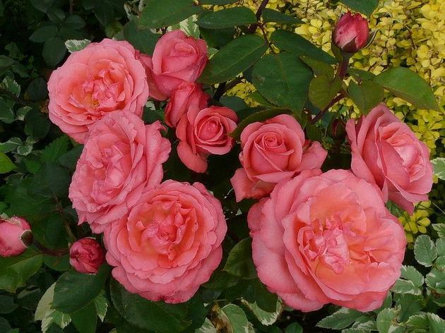 "Корни роз сорт ""Аакхенер Дом"", фото 2"