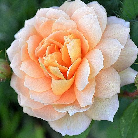 "Корни роз сорт ""Грейс"", фото 2"