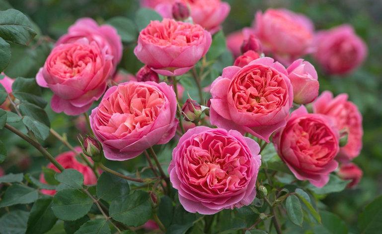"""Корни роз сорт """"Элегантиссимо"""", фото 2"""