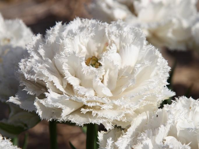 """Луковицы тюльпанов сорт """"Snow Crystal (Сноу Кристал)"""""""