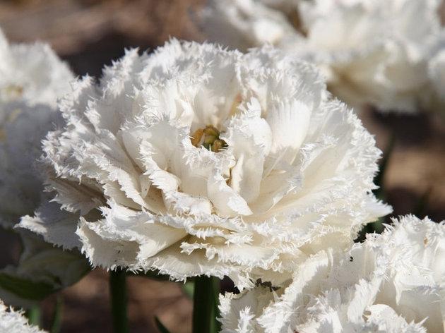 "Луковицы тюльпанов сорт ""Snow Crystal (Сноу Кристал)"", фото 2"