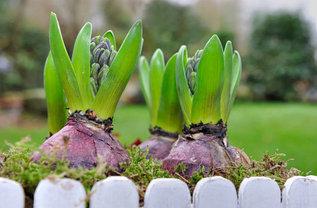 Луковичные растения (осень)
