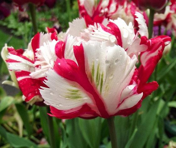 """Луковицы тюльпанов сорт """"Estella Rijnveld (Эстелла Рижнвельд)"""", фото 2"""