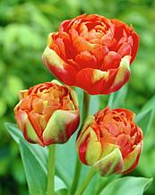 """Луковицы тюльпанов сорт """"Princess Unique (Принцеса Унику)"""""""