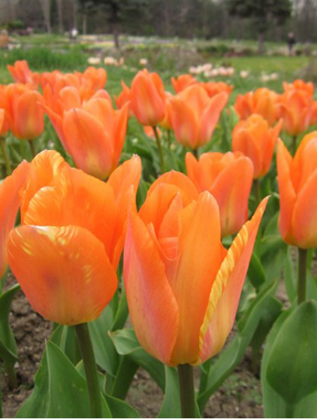"Луковицы тюльпанов сорт ""Purissima Orange (Пуриссима Оранж)"""