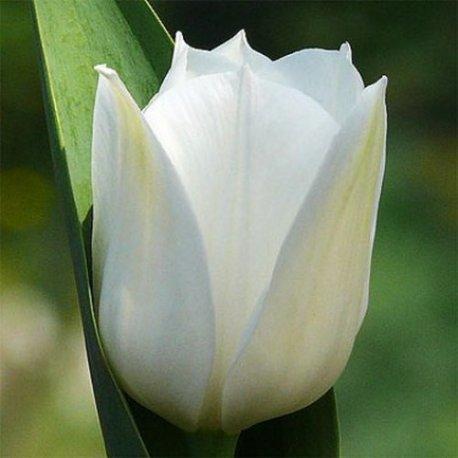 """Луковицы тюльпанов сорт """"Royal Virgin (Роял Вирджин)"""", фото 2"""