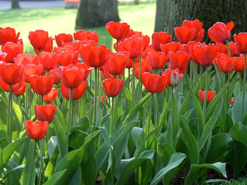 "Луковицы тюльпанов сорт ""Red Impression (Ред Импрешн)"""