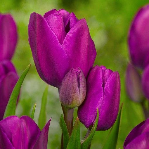 """Луковицы тюльпанов сорт """"Purple Bouquet (Перпл Букет)"""""""