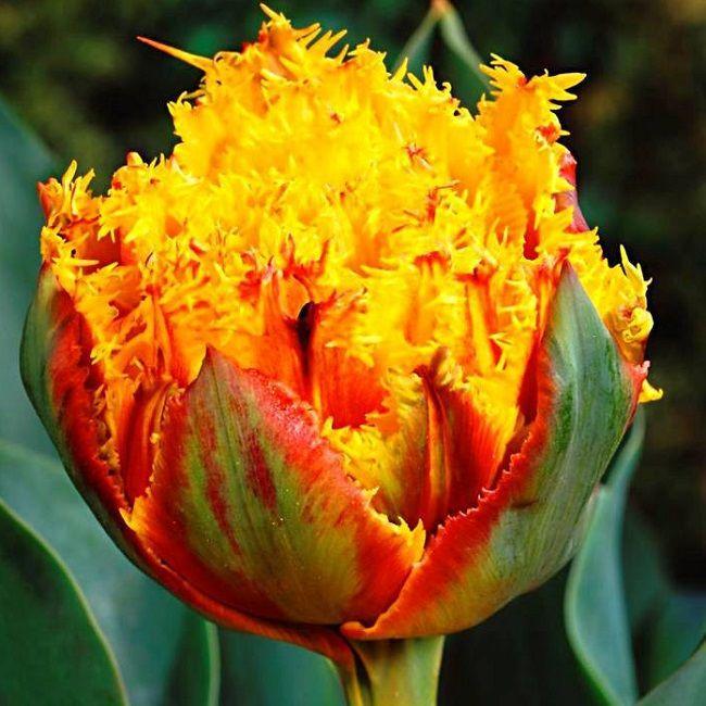 "Луковицы тюльпанов сорт ""Crispion Beauty (Криспион Бьюти)"""