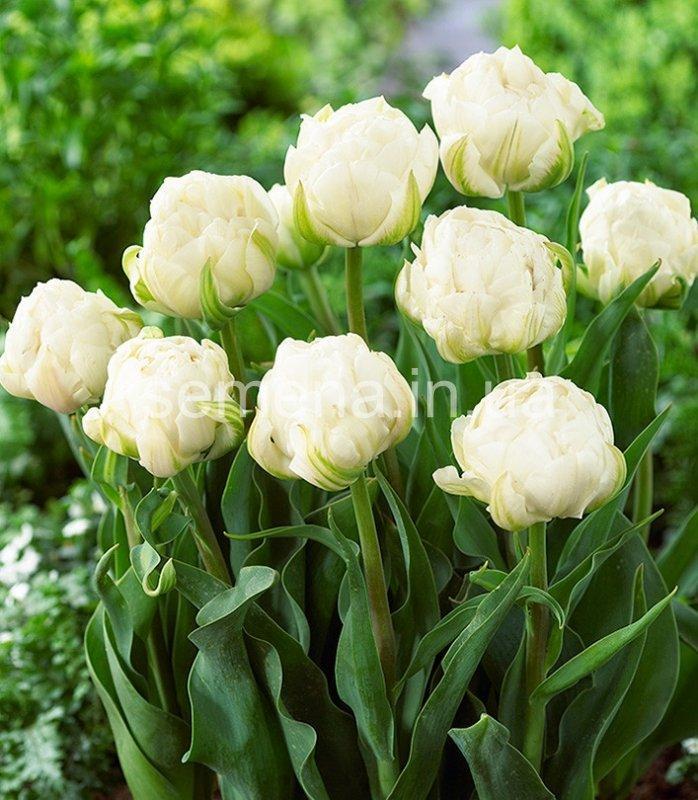 """Луковицы тюльпанов сорт """"Up White (Ап Вайт)"""""""
