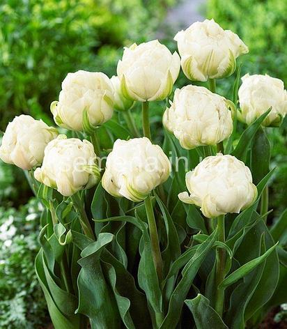 "Луковицы тюльпанов сорт ""Up White (Ап Вайт)"", фото 2"