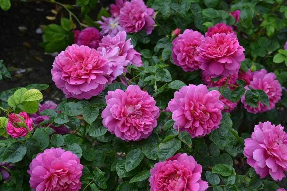 """Корни роз сорт """"Принцесса Анна"""""""