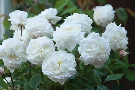 "Корни роз сорт ""Сьюзен Уильямс-Эллис"", фото 2"