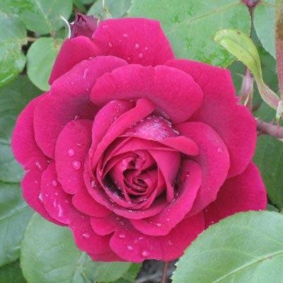"Корни роз сорт ""Тесс оф зе д'Эрбервилль"", фото 2"