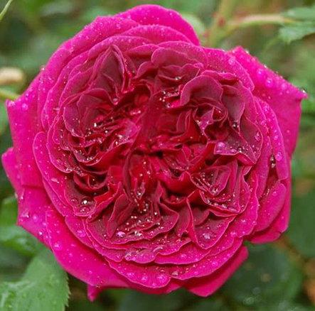 "Корни роз сорт ""Фишерман Френд"", фото 2"
